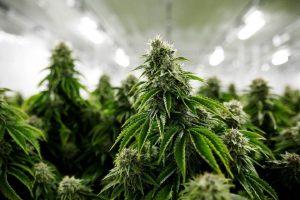 Quels sont les effets de fumer du cbd a la fleur de chanvre sans cannabis ?